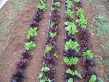 Lettuce growing in the field